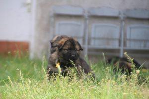 comme-chiens-et-loups0036