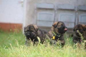 comme-chiens-et-loups0038