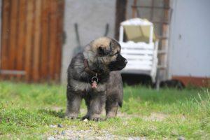 comme-chiens-et-loups0042