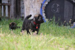 comme-chiens-et-loups0053