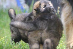 comme-chiens-et-loups0059