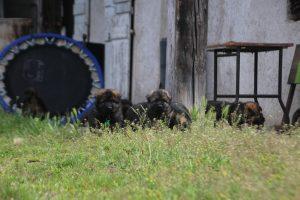 comme-chiens-et-loups0061