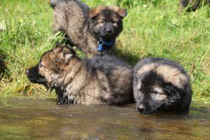 comme-chiens-et-loups0082