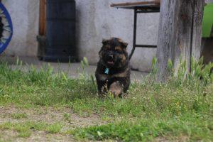 comme-chiens-et-loups0091