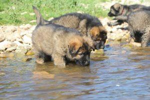 comme-chiens-et-loups0103