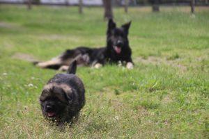 comme-chiens-et-loups0104
