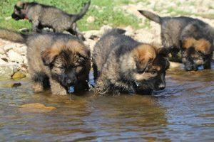 comme-chiens-et-loups0105