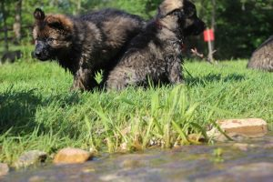 comme-chiens-et-loups0116