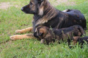 comme-chiens-et-loups0122