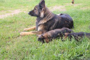 comme-chiens-et-loups0123
