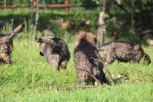 comme-chiens-et-loups0126