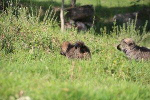 comme-chiens-et-loups0131