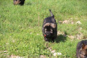 comme-chiens-et-loups0136