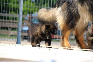 comme-chiens-et-loups0139