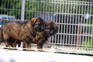 comme-chiens-et-loups0141