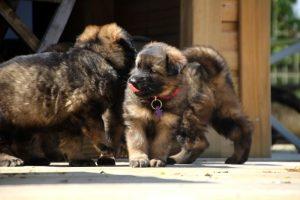 comme-chiens-et-loups0143