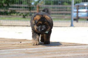 comme-chiens-et-loups0148