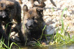 comme-chiens-et-loups0150