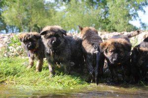 comme-chiens-et-loups0152