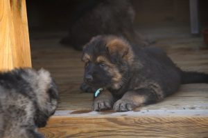 comme-chiens-et-loups0164