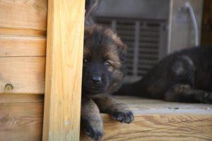comme-chiens-et-loups0178