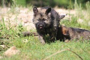 comme-chiens-et-loups0182