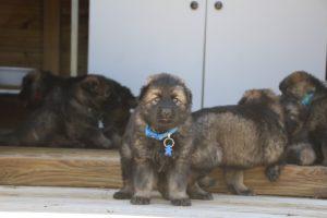 comme-chiens-et-loups0185