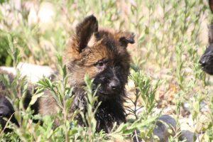 comme-chiens-et-loups0197