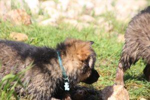 comme-chiens-et-loups0200