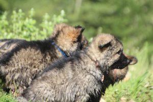 comme-chiens-et-loups0208