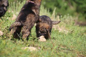 comme-chiens-et-loups0210
