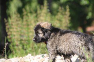 comme-chiens-et-loups0216