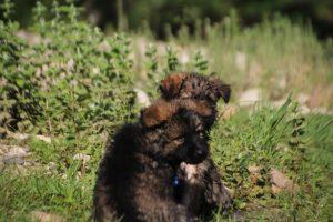 comme-chiens-et-loups0217