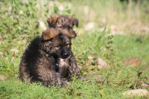 comme-chiens-et-loups0218