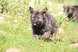 comme-chiens-et-loups0227