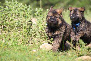comme-chiens-et-loups0233