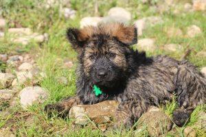 comme-chiens-et-loups0241
